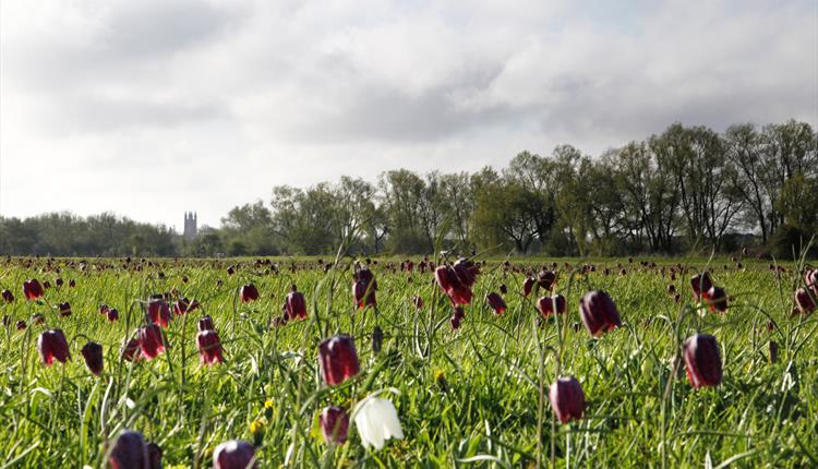 Cricklade North Meadow (National Nature Reserve)
