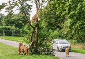 car driving past two lions