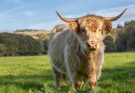 River Bourne Community Farm - Highland Cow
