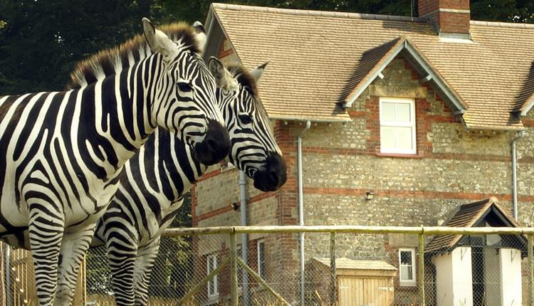 Zebras standing in front of Keepers House holiday cottage