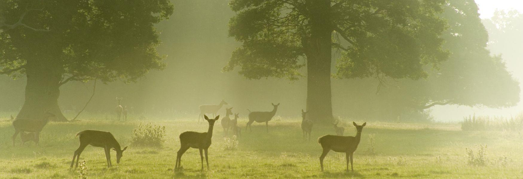 Red Deer in Windsor Great Park