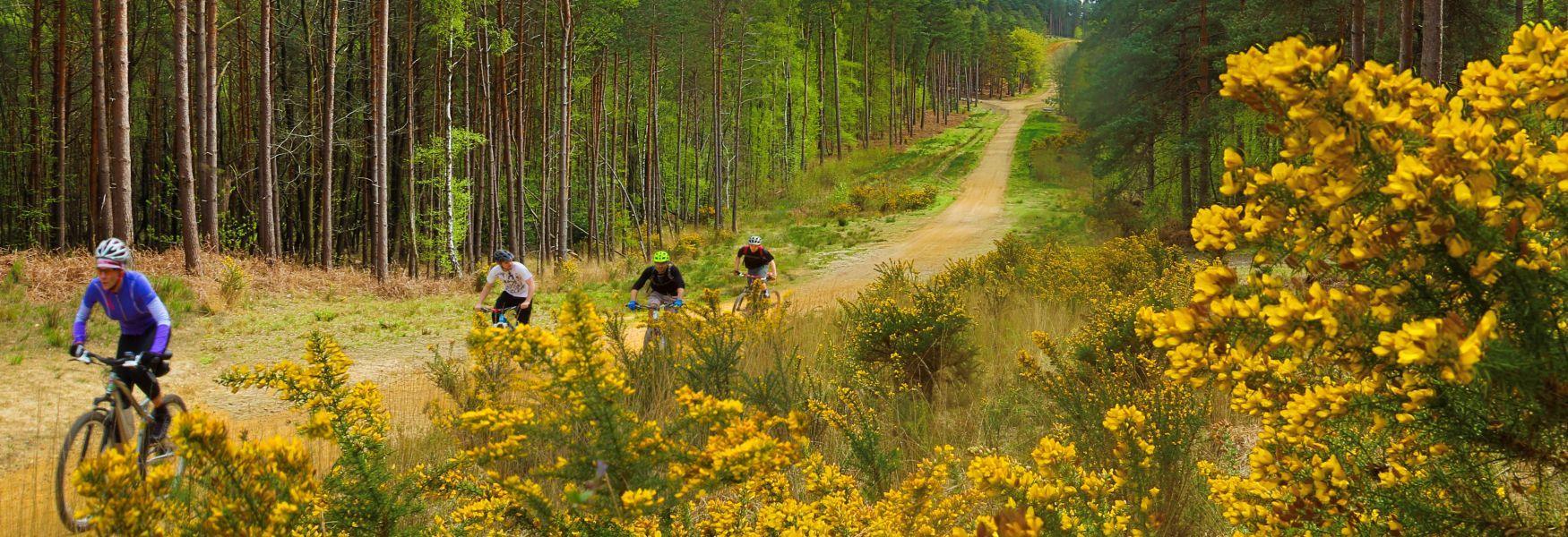 Mountain biking in the Crown Estate's Swinley Forest