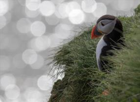 An image of the puffins as RSPB Bempton Cliffs