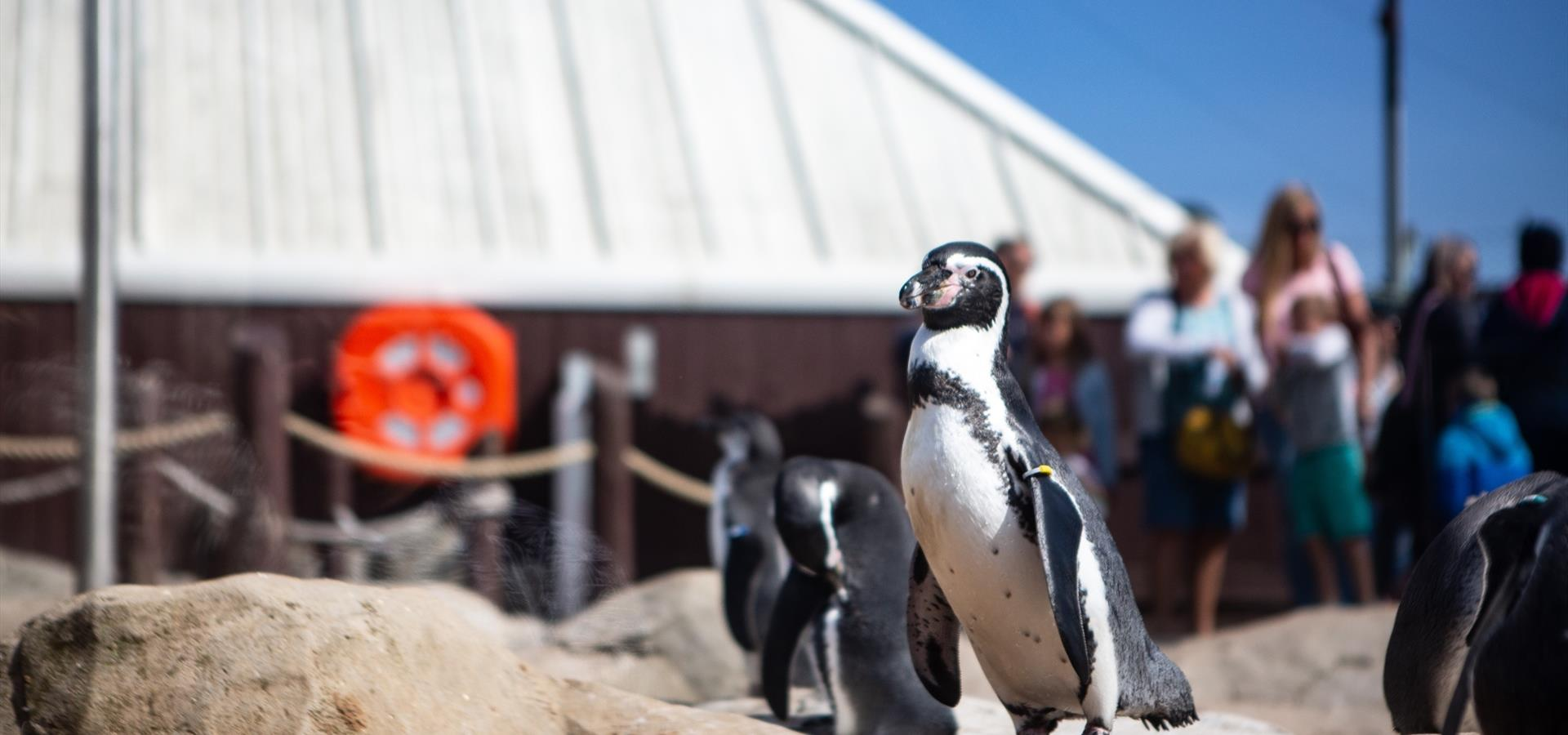 An image of the penguins at Scarborough Sea Life Centre by Duncan Lomax