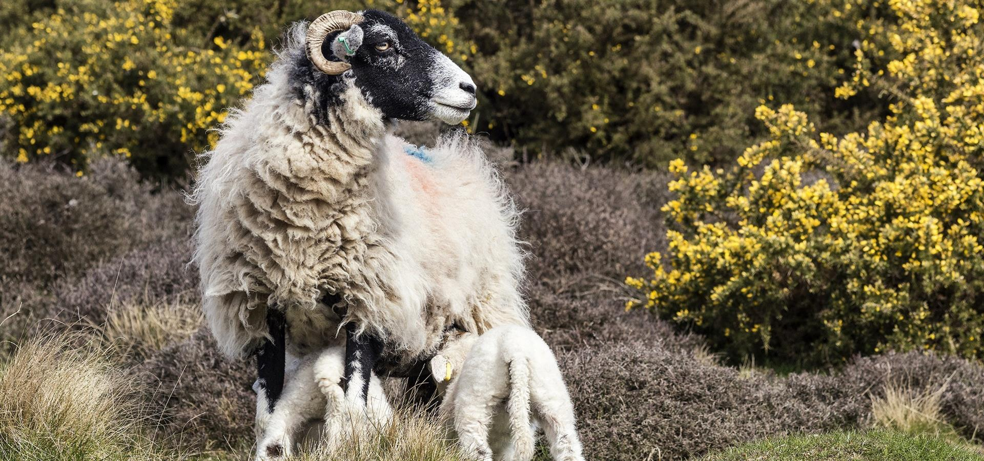 An image of Sheep in the North York Moors in Spring by Richard Burdon