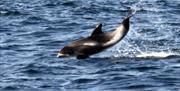 image of white beaked dolphin