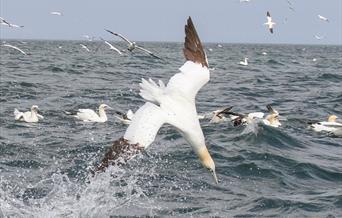 RSPB Diving Gannet Cruises