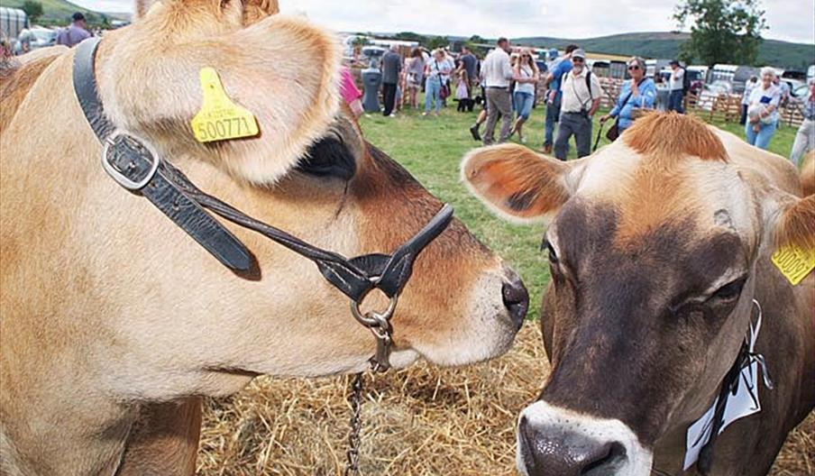 Brown cows at Danby Show