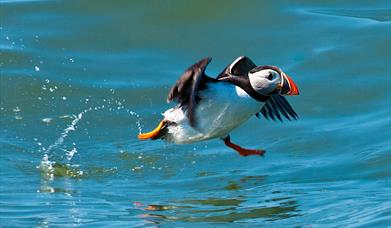 RSPB Puffin and Gannet Cruises
