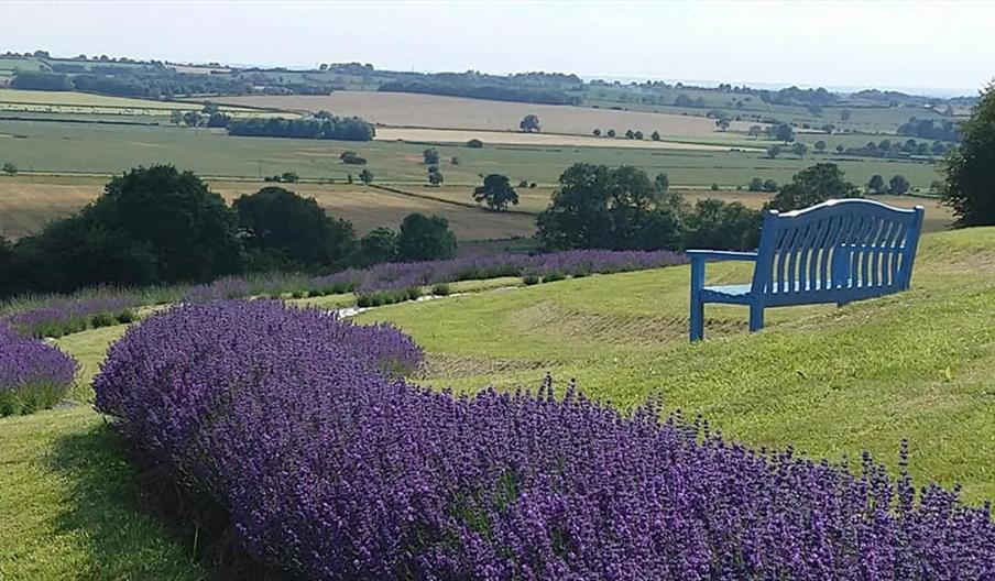image of Yorkshire Lavender
