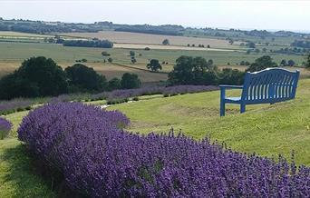 image of Yorkshire Lavender